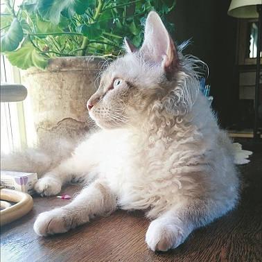 La Perm med sina karakteristiska tofsar bakom öronen.